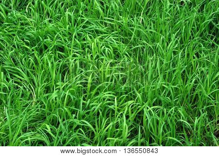 Sunlit Green Grass Meadow Texture and Background