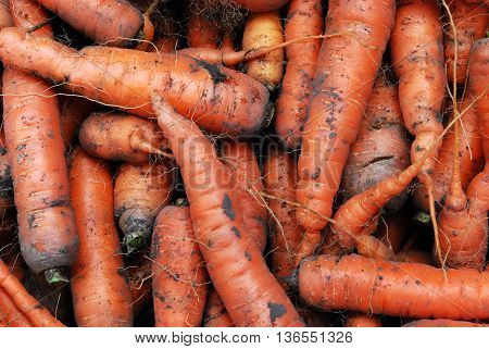A Head of Gathered Carrots with Mud