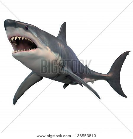 Great White Shark Isolated 3D Illustration - The Great White shark can grow over 8 meters or 26 feet and live to 70 years of age.