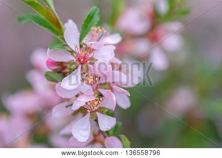 Wallpaper with blossoming of dwarf  Russian almond or Prunus tenella blossoms in spring