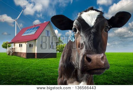 a cow close up in a meadow near the farmer's house