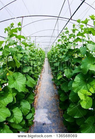 Cantaloupe melon growing in greenhouse farm,non toxic food