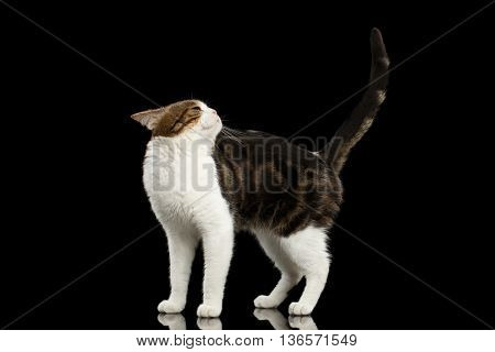 Funny Scottish Straight Cat White with Brown tabby Standing on Isolated Black Background Profile view Raising back head and Tail