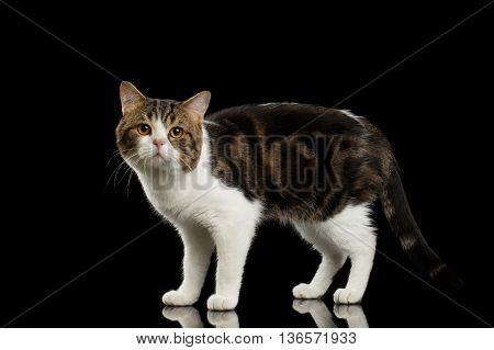 Sad Scottish Straight Cat White with Brown tabby Standing in Isolated Black Background Profile view Tail is down
