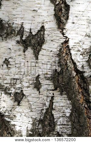 Photo  of birch bark, black and white background