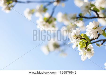 Bright blue sky and apple tree blossoms