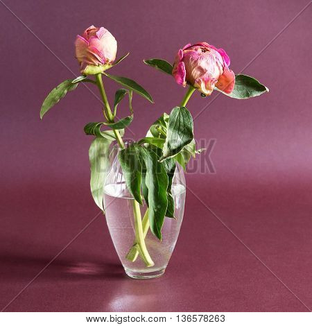 two dried peony flower in a vase on a purple background