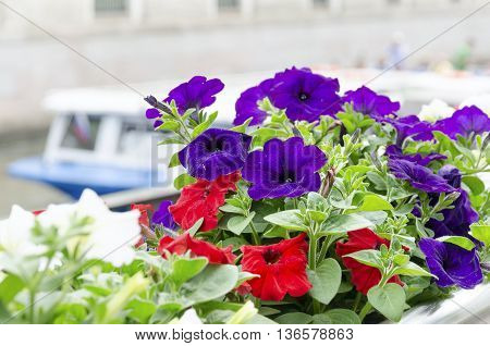 Lilac petunia in pot and blur ship
