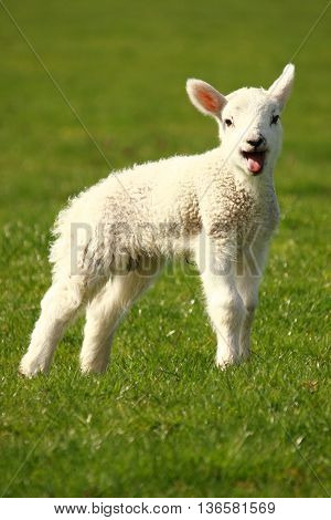 closeup of bleating lamb on green meadow