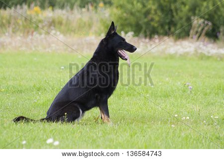 German Sheepdog