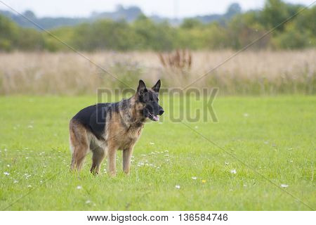German sheepdog on the green summer field