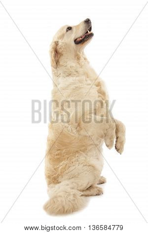 cute Labrador dog isolated on white background