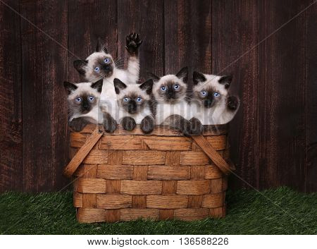 Multiple Adorable Siamese Kittens in A Basket