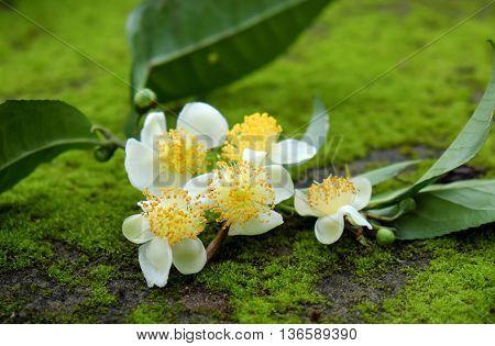 Tea Leaf And Tea Flower