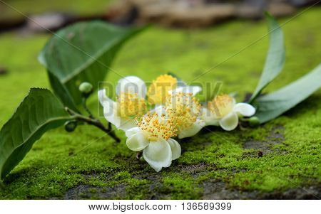 Tea Leaf And Tea Flower
