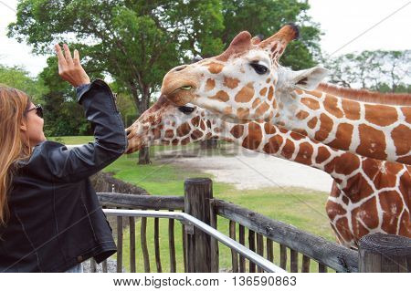 MIAMI BEACH, UNITED STATES - FEBRUARY 10: People feed giraffes in the Miami Metro Zoo on 10th of February, 2016 in Miami Beach.