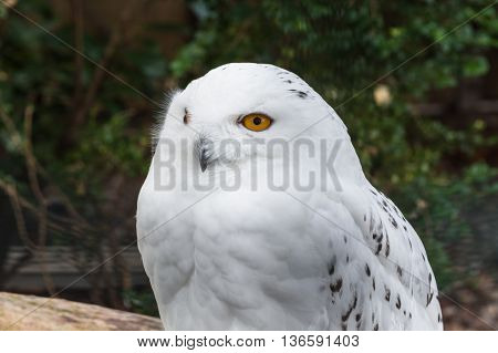 Portrait of a Snowy Owl on a white background
