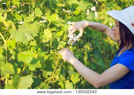 Young beautiful woman with pruner in yard gardening cuts grapes