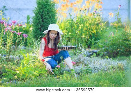 Young beautiful woman with pruner in yard gardening cuts grapes