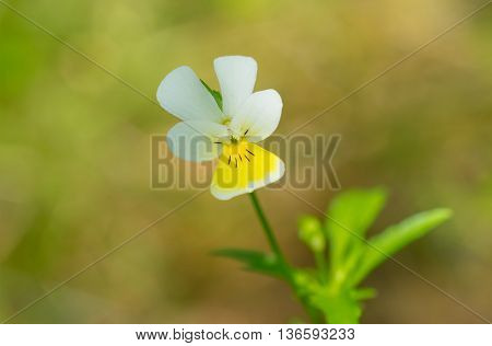 Wild forest viola at spring season in Ukraine