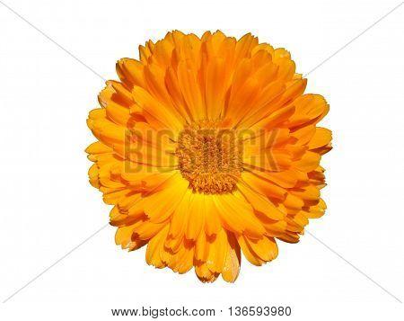 One calendula orange flower isolated on white.