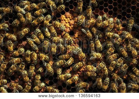 Healthy Honey Bees On A  Frame, Capped Larvae Cells And Pollen