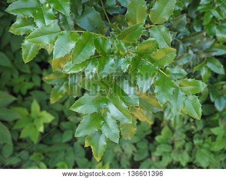 Holly (Ilex aquifolium) aka English holly or European holly or Christmas holly plant