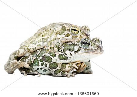 Mating of two green toads isolated on white background