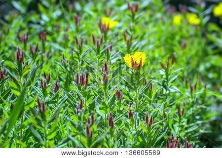 Yellow Flowers In Garden Macro