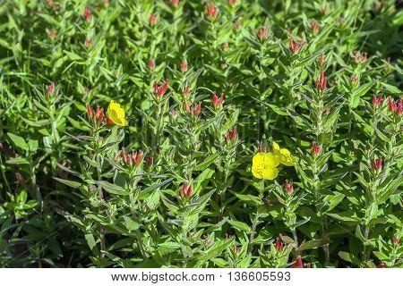 Many  Yellow Flowers In Garden