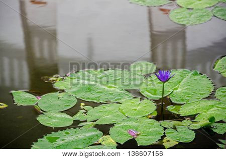 This beautiful waterlily or lotus flower is complimented by the rich colors of the deep blue water surface. Saturated colors and vibrant detail make this an almost surreal image.