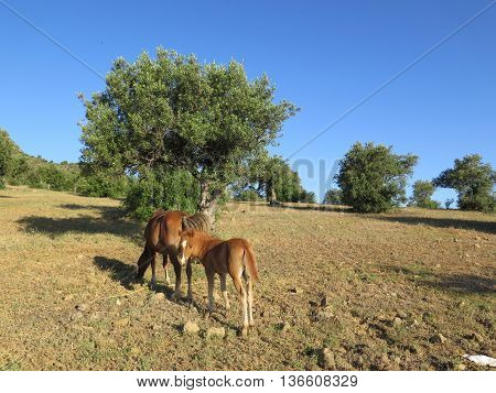 young brown foal in field eating wild oats in Alora Countryside Andalusia