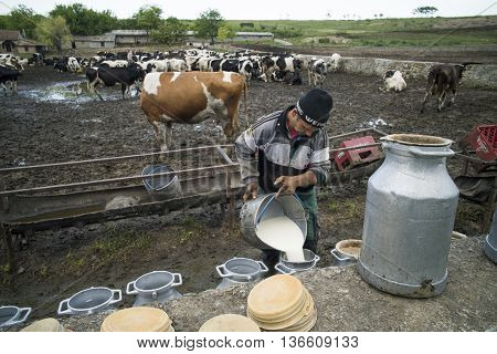 Mangalia Romania - May 27 2016: Color image of a man pouring some milk from Holstein cows in a stable.