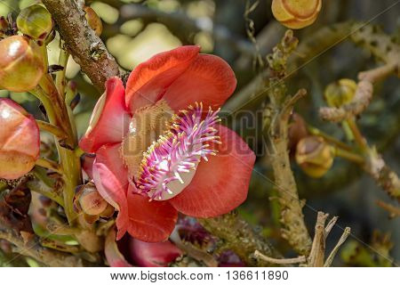 Amazon region tree exotic red flower widely used in landscaped project called Cannon Ball Tree or Abrico de Macaco in Brazil among other names