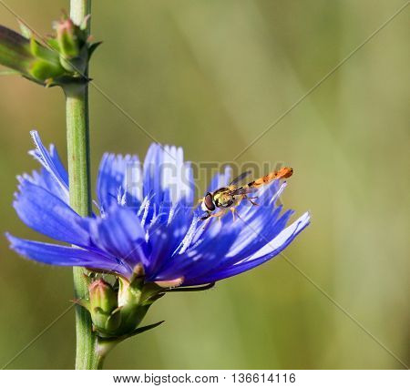 picture of a Mosquito early on the morning on a blue wild flower
