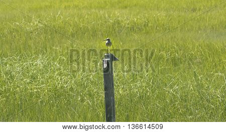 Bird on a post in the marshes
