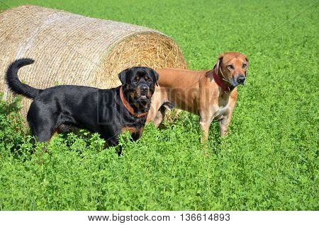 Brown ridgeback and black rottweiler stand on green field next to roll of straw