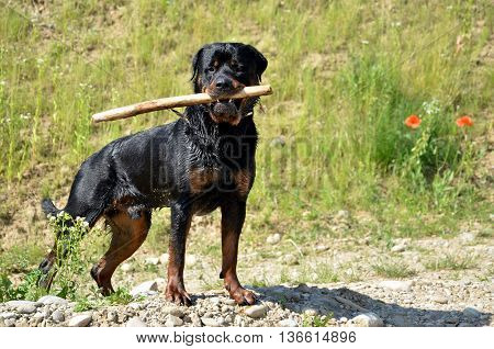 Black rottweiler with branch in mouth looks into camera