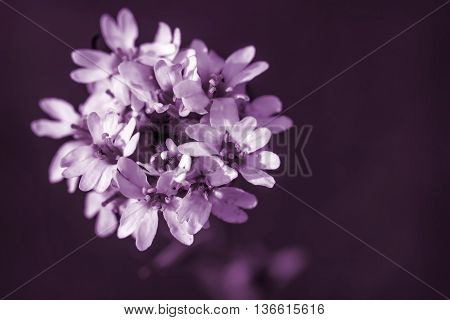 Beautiful floral background with white flowers closeup on a dark purple background