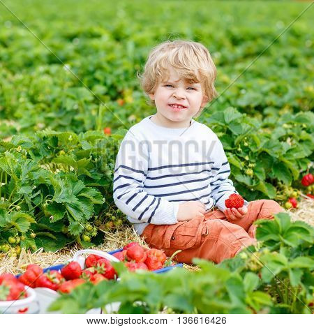 Curly little toddler kid boy picking and eating strawberries on organic pick a berry farm in summer, on warm sunny day. Harvest fields. Healthy food for children. Gardening and farming concept
