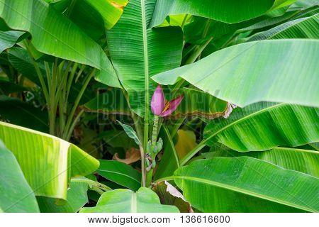 blooming pink lotus banana tree, an tropical tree in Thailand