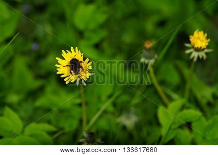 Big beautiful bumblebee in a dandelion blossom