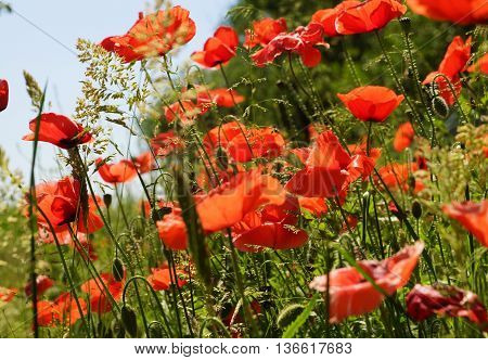 Blooming poppies on a meadow in summer