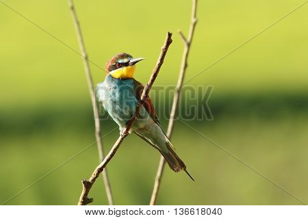 beautiful european bee eater perched on branch ( Merops apiaster )