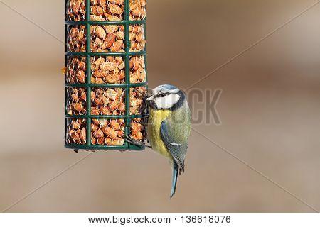 blue tit on bird feeder full of peanuts ( Cyanistes caeruleus )