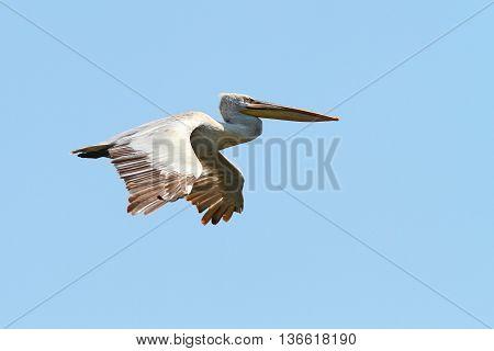 Pelecanus crispus - dalmatian pelican in flight vulnerable specie on IUCN list