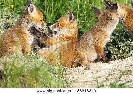 happy eurasian fox cubs playing near the den ( Vulpes vulpes )