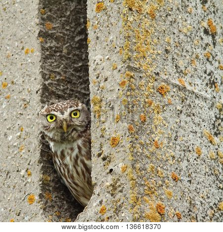 Athene noctua-little owl hiding in cement pillar