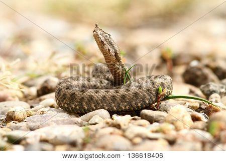Vipera ammodytes ammodytes - nose horned viper juvenile
