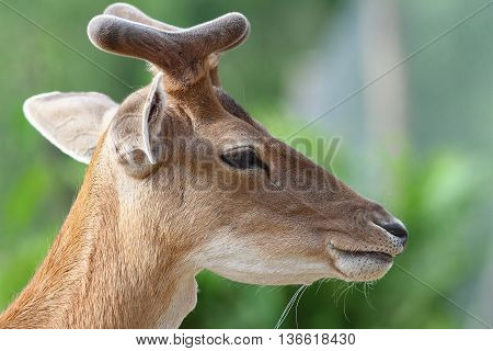 portrait of young fallow deer buck over green blurred background ( Dama dama )